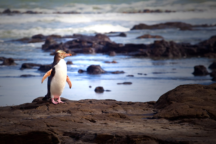 posing of a yellow-eyed penguin